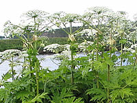 Giant Hogweed (image by GerardM at nl.wikipedia)